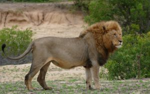 Jesus Christ is called the lion out of Judah and the devil is called lion who devours you in the bible.